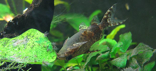 Upside-Down Catfish Synodontis nigriventris