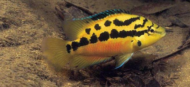 Yellow Belly Cichlid Cichlasoma salvini