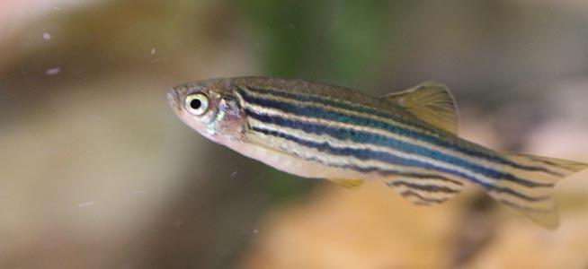 Fish profile - Zebra Danio